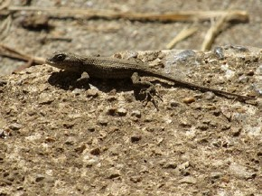 Fence Lizard - Joe Brewington