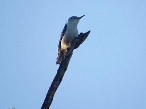 White-breasted Nuthatch - Joe Brewington