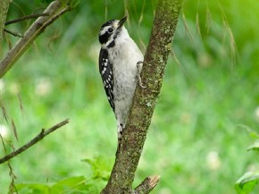 Downy Woodpecker - Joe Brewington