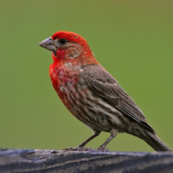 Tennessee Watchable Wildlife | House vs. Purple Finch ...