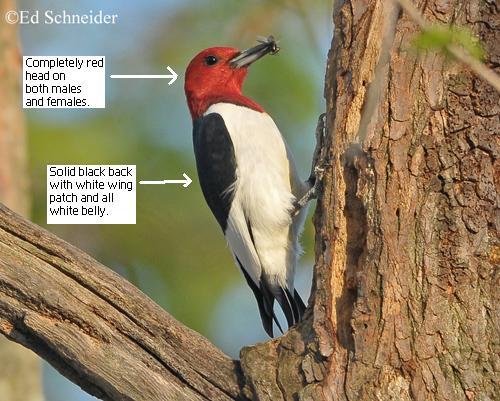 female red headed woodpecker 2