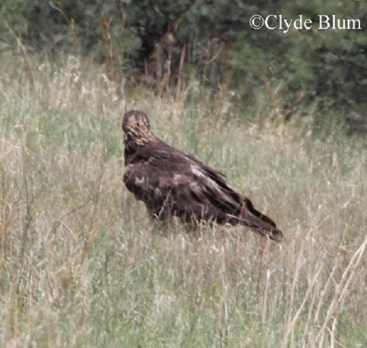 the description of the golden eagle and its habitat Dgif biologist holds a second-year golden eagle captured at clinch mountain   relating to habitat use, winter range size and other aspects of their ecology.