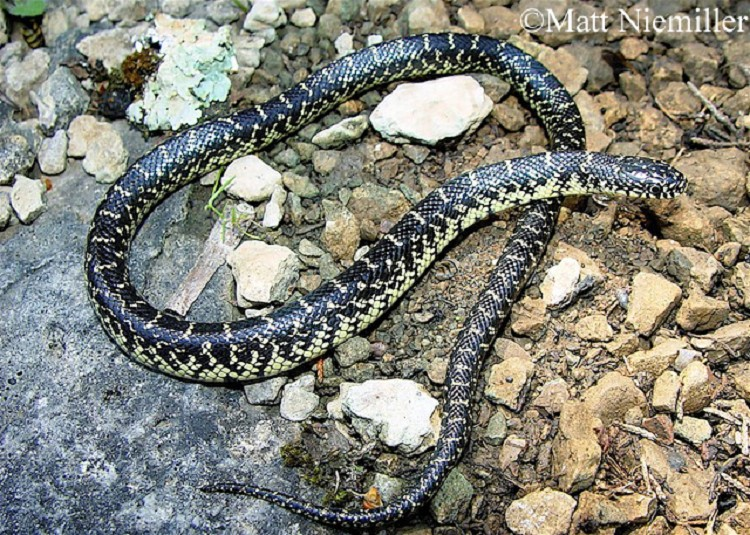 Tennessee Watchable Wildlife | Common Kingsnake